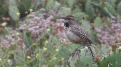 """Coastal"" Cactus Wren 5 Stock Footage"