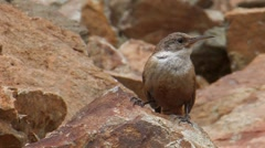 Canyon Wren 1. Stock Footage