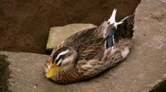 Female Mallard Duck Resting Stock Footage