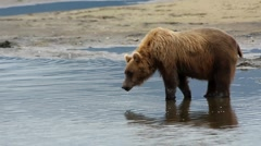 Wild Bear Water Reflection Stock Footage