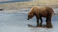 Stock Video Footage of Wild Bear Water Reflection