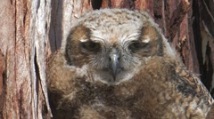 Great Horned Owl 1 Stock Footage