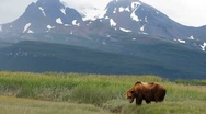 Stock Video Footage of Wild Alaska Bear Scenic