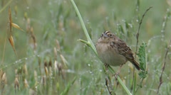 Grasshopper Sparrow 1. Stock Footage