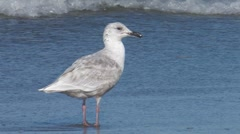 Glaucous-winged Gull 2. Stock Footage
