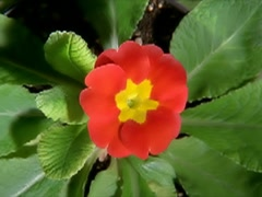 Red Flower Blooming in Time-lapse – 320x240 Stock Footage