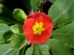 Red Flower Blooming in Time-lapse – 400x300 Stock Footage
