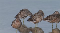 Long-billed Dowitcher 1 Stock Footage