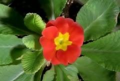 Red Flower Blooming in Time-lapse – NTSC Stock Footage