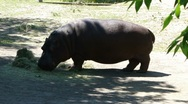 Hippopotamus eating grass   9996-1 Stock Footage