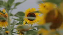 sunflowers with rack focus - stock footage