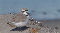 """Western"" Snowy Plover 1 Stock Footage"