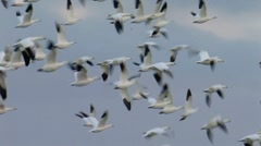 Ross's and Snow Geese 2 Stock Footage