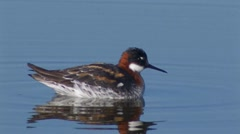 Red-necked Phalarope 4 Stock Footage