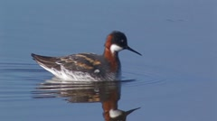Red-necked Phalarope 1 Stock Footage