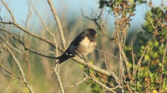 Barn Swallow take some rest on a bush Stock Footage