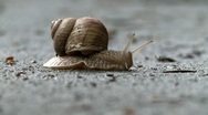 Stock Video Footage of snail crawling