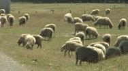 Pan across sheep in paddock Stock Footage