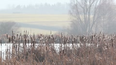 Cattail Stock Footage