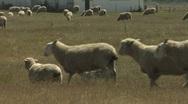 Sheep walking across a paddock Stock Footage
