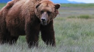 Stock Video Footage of Grizzly Bear Eats Grass