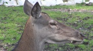 Stock Video Footage of Deer