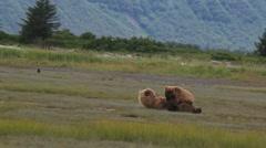 Bear Cub Breastfeeds Stock Footage