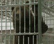 Bear in cage SD Footage