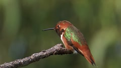 Allen's Hummingbird 1 - stock footage