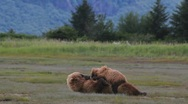 Stock Video Footage of Bear Love
