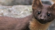 Stock Video Footage of Pine Marten in the wild