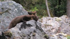 Pine Marten in the wild Stock Footage