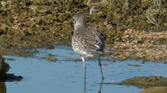 Black-bellied Plover 1 Stock Footage