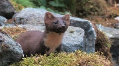 Pine Marten in the wild - stock footage