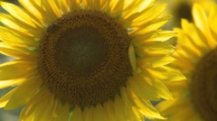Sunflower 12 Stock Footage