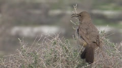 Le Conte's Thrasher 2 Stock Footage