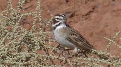 Lark Sparrow 1 Stock Footage