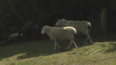 Sheep in a paddock. Stock Footage