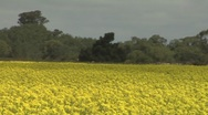 Pan across a field of rapeseed Stock Footage