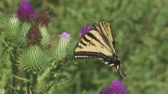 Western Tiger Swallowtail 2 Stock Footage