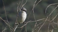 Loggerhead Shrike 2 Stock Footage