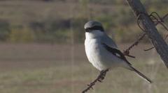 Loggerhead Shrike 1 Stock Footage