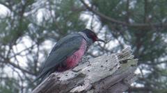 Lewis's Woodpecker 1 Stock Footage