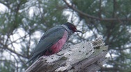 Stock Video Footage of Lewis's Woodpecker 1