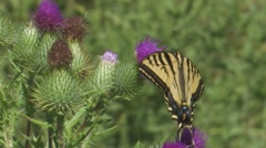Western Tiger Swallowtail 3 Stock Footage
