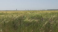 Stock Video Footage of Beautiful field of wheat