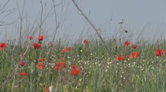 Beautiful poppies - stock footage