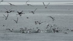 Seabirds Fly Dive For Fish Stock Footage