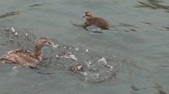 eider ducks - stock footage