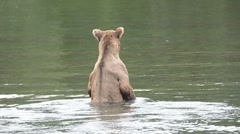 Alaskan brown bear walking in water searching for salmon Stock Footage